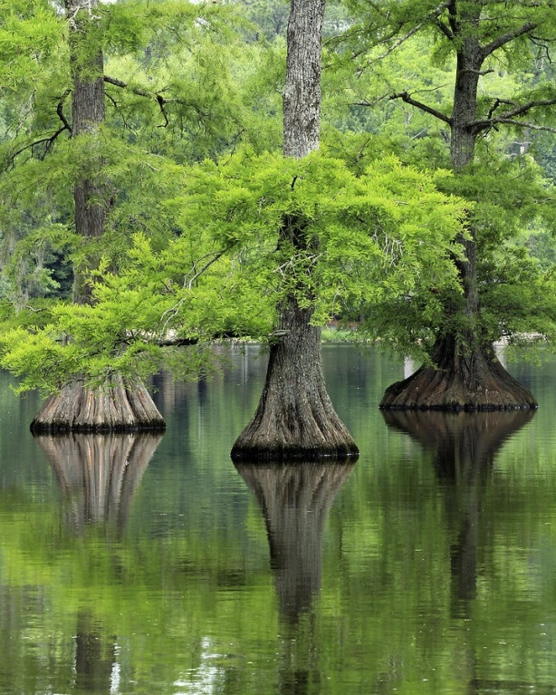 trees-5-cypress